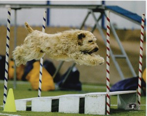 Wheaten Terrier jumping over a broad job